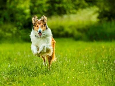 Lassie, wróć - najwierniejszy pies na świecie